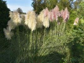 Pampas grass may have white, pink or mauve flower heads.