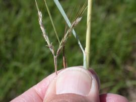 Key identifying features of Coolatai grass