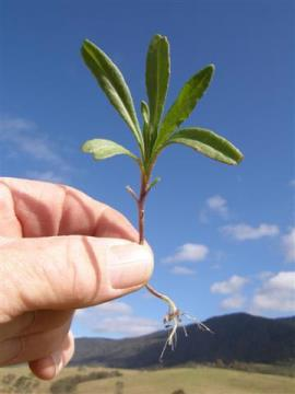 Fireweed seedling at the 5 to 6 leaf stage.