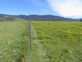 Left of fence: Kikuyu-based pasture without fireweed infestation. Right of fence: other pasture infested with fireweed.
