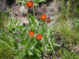 Hawkweeds are in the daisy family and are similar to dandelions.