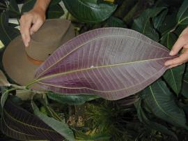 Distinctive leaf veins of Miconia.