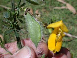 Scotch broom key identifying features. Note the hairy margins of the pods.