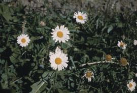 Ox-eye daisies have dark green leaves and the flowers have white petals.