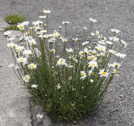 Ox-eye daisy is an upright plant that grows up to 1 m tall.