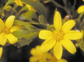 Boneseed have yellow flowers of 5-8 petals and are up to 3 cm in diameter