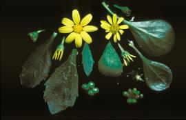 Flowers, leaves and fruit of boneseed (left) compared with those of bitou bush (right)