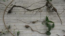 Cat's claw creeper ground tubers