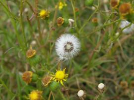White, fluffy hairs on fireweed seeds help them spread by wind
