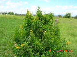 Green cestrum shrubs can grow 2-3 m high.