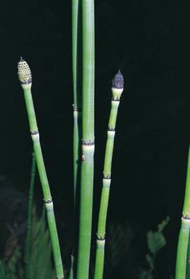Tip of horsetail plant.