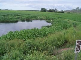 Hymenachne amplexicaulis infestation threatens wetland conservation areas