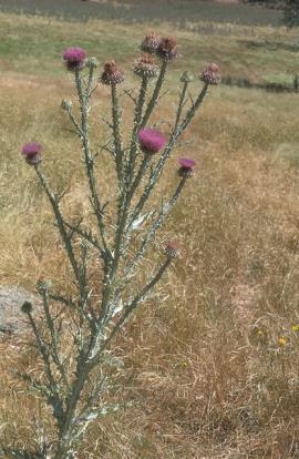 Mature Illyrian thistle.