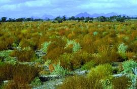 Kochia plants turn yellow-brown as they mature.
