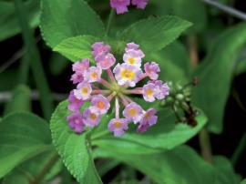 Close up pink flowered lantana with spearhead shaped green leaves