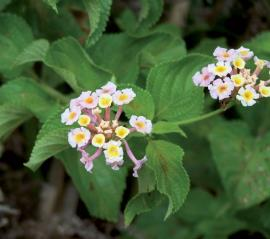 Close up of white flowered lantana with egg-shaped green leaves