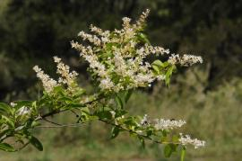Narrow-leaf privet flowers.