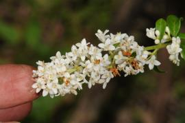 European privet flowers are strongly scented.