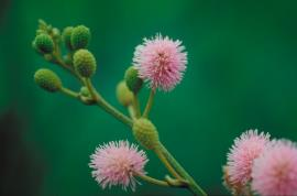 Mimosa flowers are pink-mauve and mainly occur during the wet season.