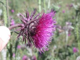 Nodding thistle flower.