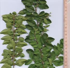 Narrow-leaf privet leaves are 1-7cm long and up to 3.5cm wide.