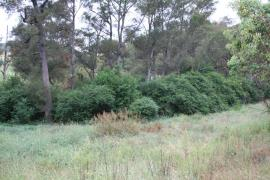 Dense stands of narrow-leaf privet out-competes native vegetation.