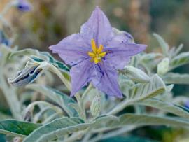 Silverleaf nightshade flowers are purple and star-shaped when fully open