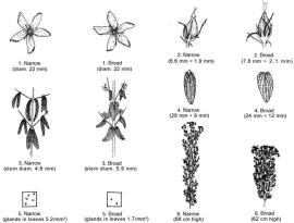 Illustration comparing parts of broadleaf and narrow-lead strains of St John's wort.