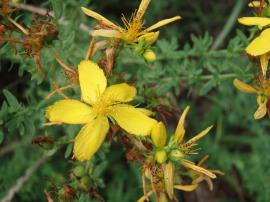 Yellow St John's wort flower and flower buds.