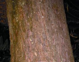Its trunk is light brown and smooth when young, but may develop  ridges with age.
