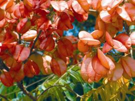 The papery, inflated pink fruit are prominent during summer.