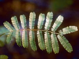 Cutch tree leaves are fern-like and made up of 8–30 pairs of smaller, secondary leaves.