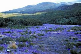 C. vulgaris covers over 6000 km2 in the high  country of New Zealand.