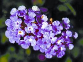 Creeping lantana has purple flowers.