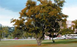 Rosewood has been planted all over the world as an ornamental street tree and garden plant.