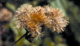 Each seed head can contain hundreds of seeds.
