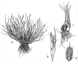 (a) Subterranean Cape sedge; (b) and (d) aerial  flower spikelet and fruit; (c) basal fruit.