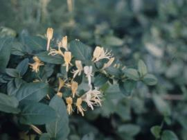 Japanese honeysuckle, Lonicera japonica
