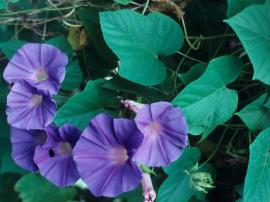 Morning glory (purple)